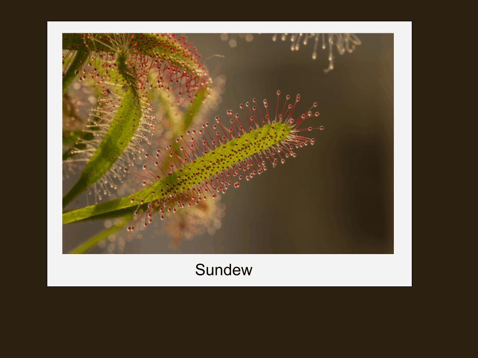 A Sundew plant