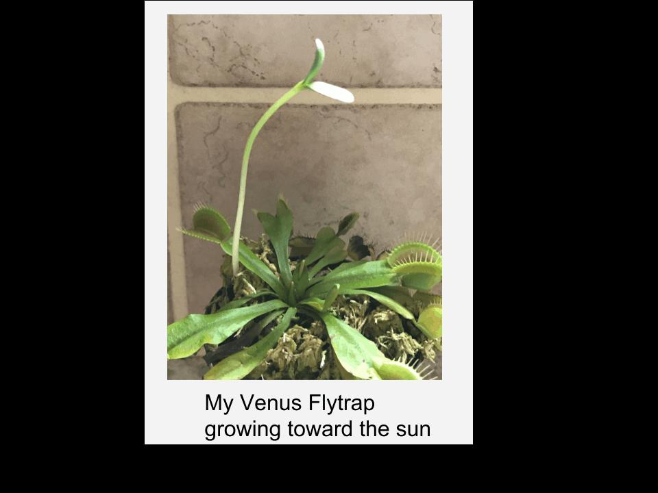 My Venus flytrap growing toward the sun
