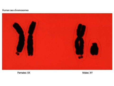In humans, the 23rd chromosome determines biological sex.  Females have two X chromosomes (XX) in their 23rd  pair, while males have one X chromosome and one Y chromosome (XY).