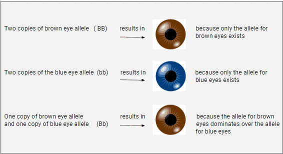Our eye color (phenotype) depends on what gene alleles we possess (our genotype)