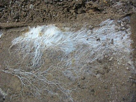The mycelium of a fungus often resembles the roots of a plant