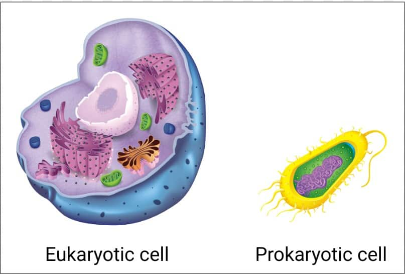 Comparison of a eukaryotic cell and a prokaryotic cell.  The germ that causes strep throat is a bacteria with a prokaryotic cell