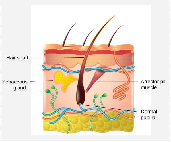 Labeled diagram of a hair follicle