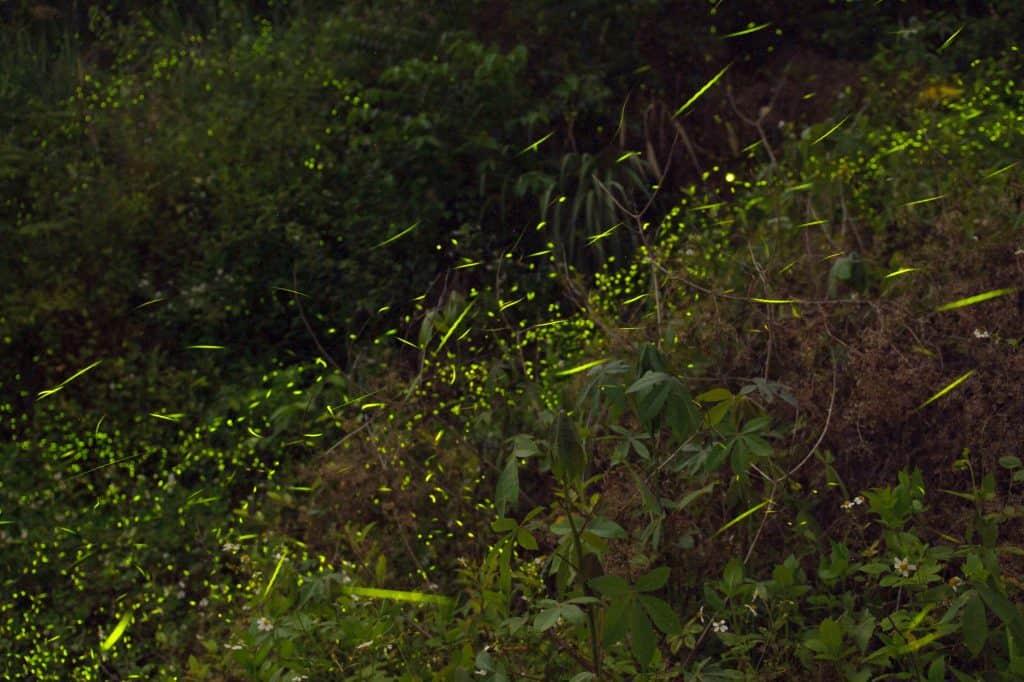 Fireflies flashing at dusk