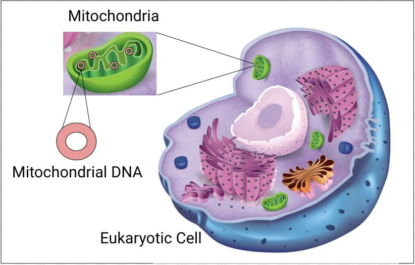 Mitochondria are organelles found in eukaryotic cells.  Mitochondrial contains its own DNA.  Mitochondrial DNA is inherited only from mothers