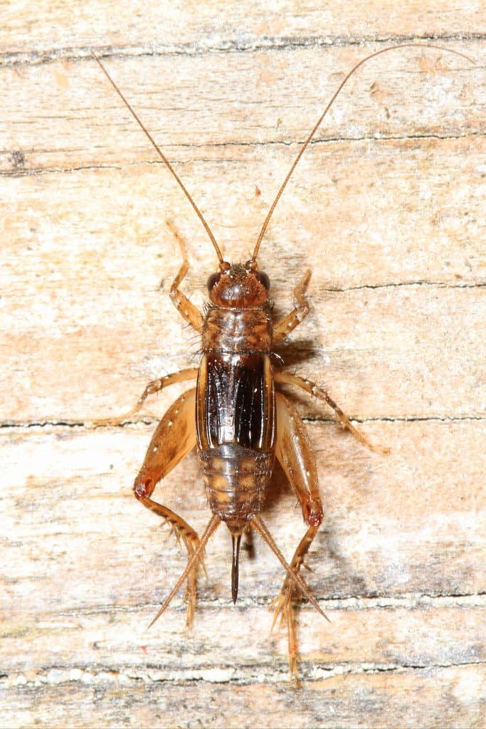 the frequency of a cricket's chirp is dependent on the temperature.