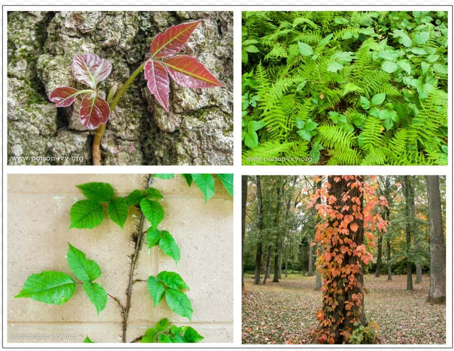 Poison ivy, poison oak, and poison sumac are common causes of summer misery.  Learning how to identify these plants can help you avoid the misery they can cause.