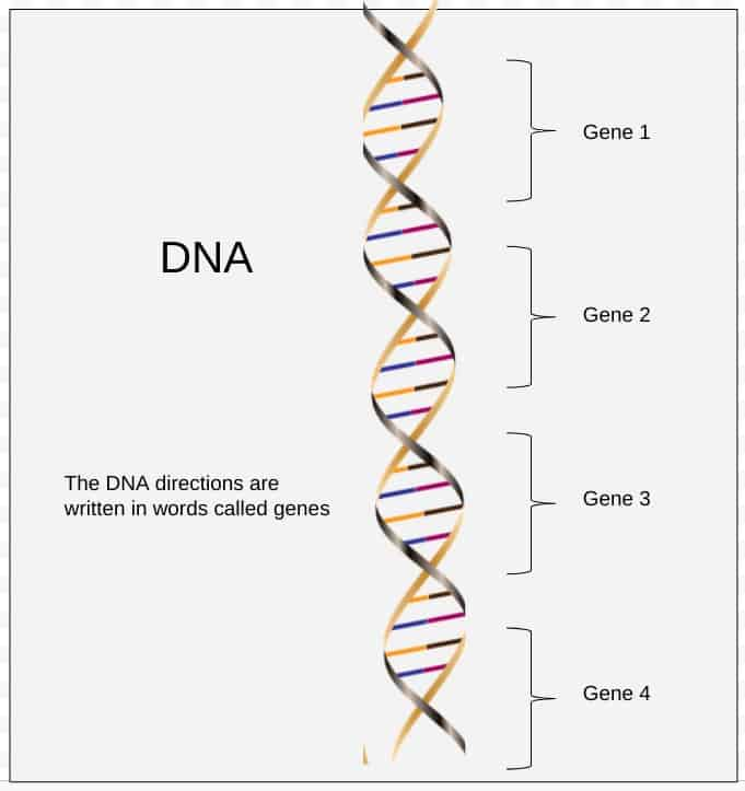 The directions in DNA are written in words called genes.  One piece of DNA can have many genes.