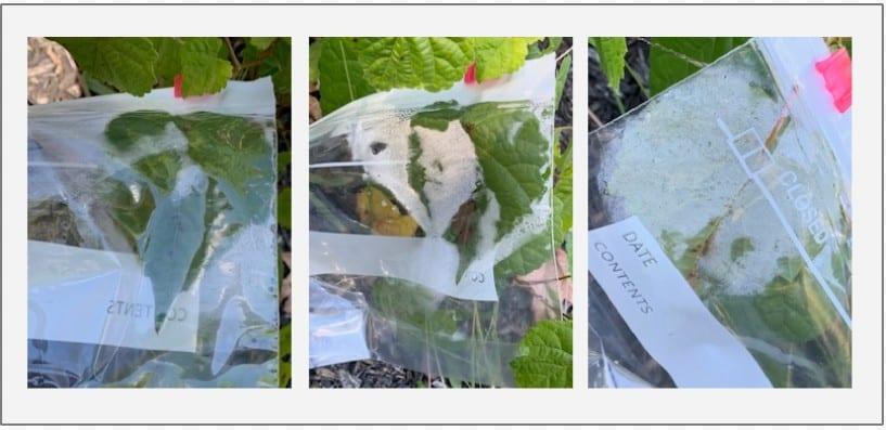 Over the course of a few hours, water vapor fills the bag surrounding the leaf.  This is the result of water exiting the leaf during transpiration