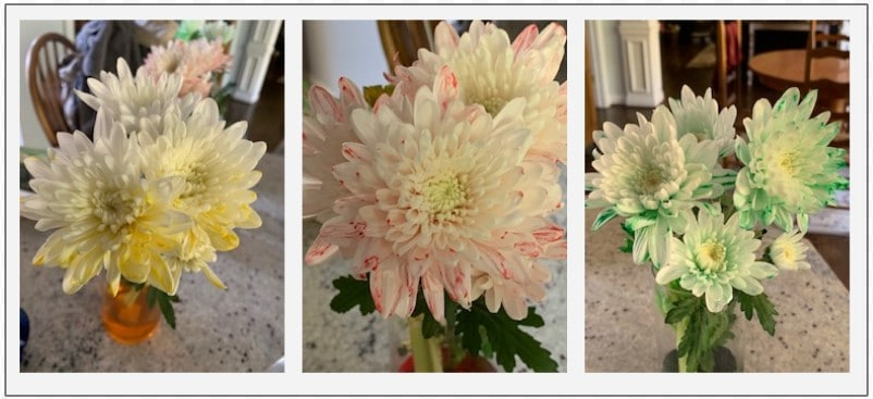You can use what you know about the plant vascular system to turn white or light-colored flowers whatever color you wish