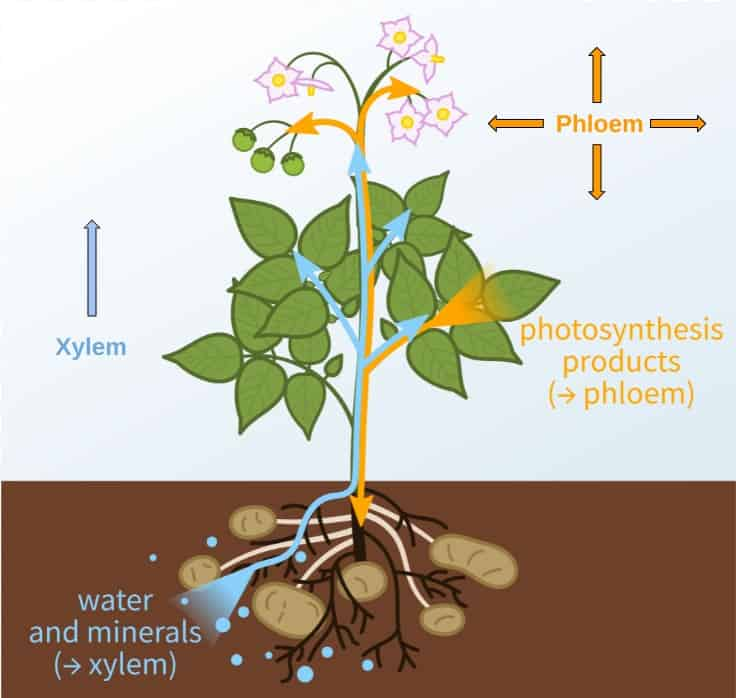 The vascular system of plants is made up of xylem and phloem