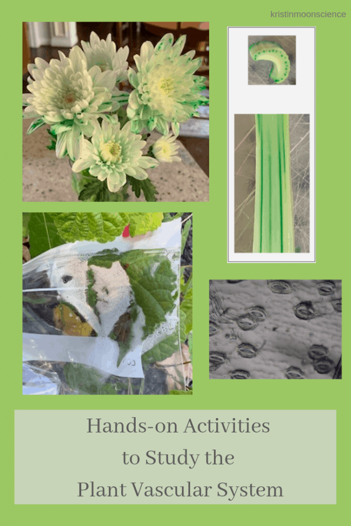 How does water get from a plant's roots to its leaves?  How does the sugar made in the leaves get to the rest of the plant?  Learn the answers with these fun, hands-on activities to study the plant vascular system.  These ideas are appropriate for any age.