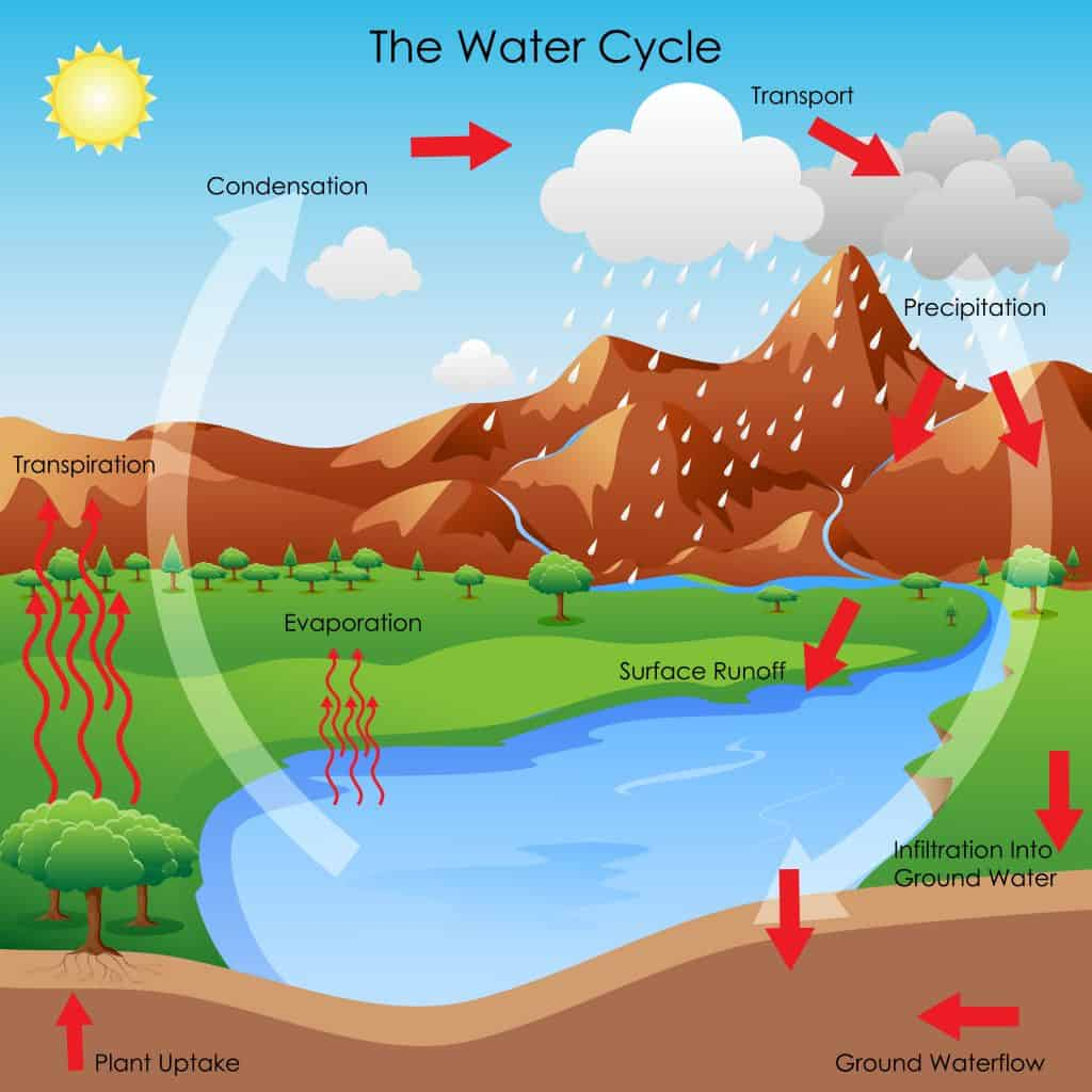 Water loss from plant transpiration is part of the water cycle