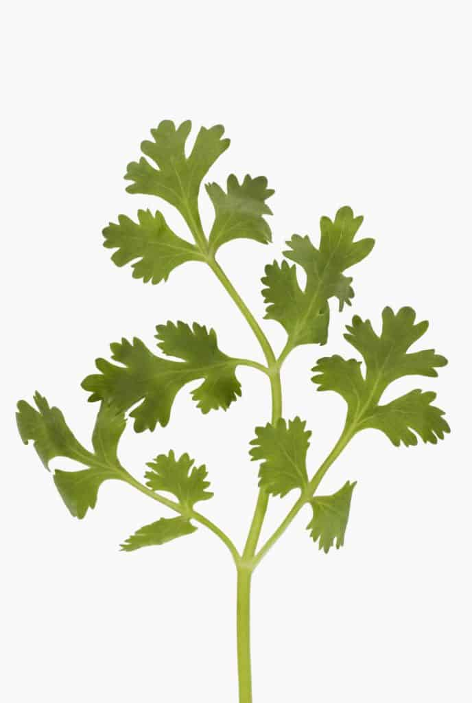 Cilantro: either you love it or you hate it