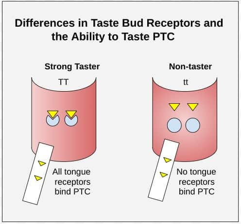 Strong PTC taster versus PTC non-taster
