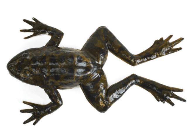 SynFrogTM is a life-like, anatomically-correct frog made from synthetic materials
