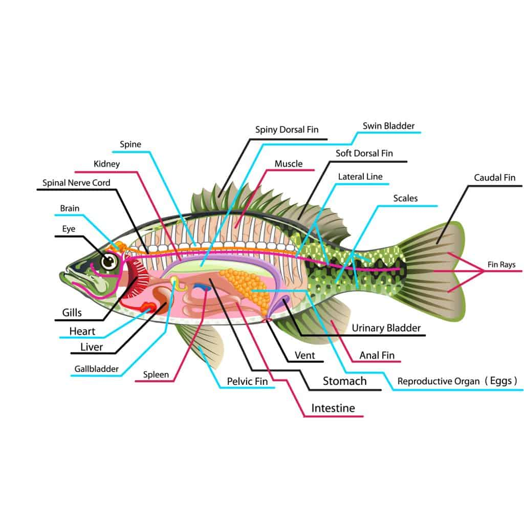 Diagram of the internal organs of a fish