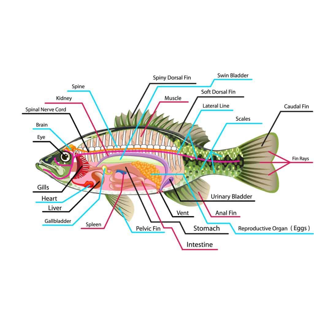 Diagram of the internal organs of a fish