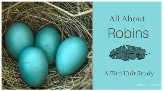 Robin nest with 4 eggs