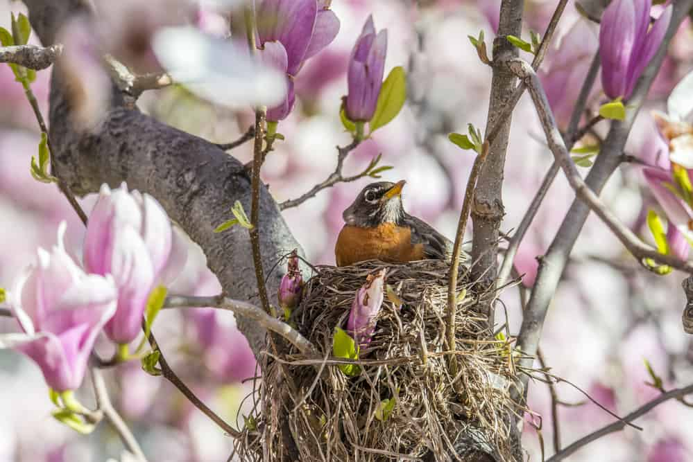 American Robin (Turdus migratorius) is a migratory songbird in the thrush family
