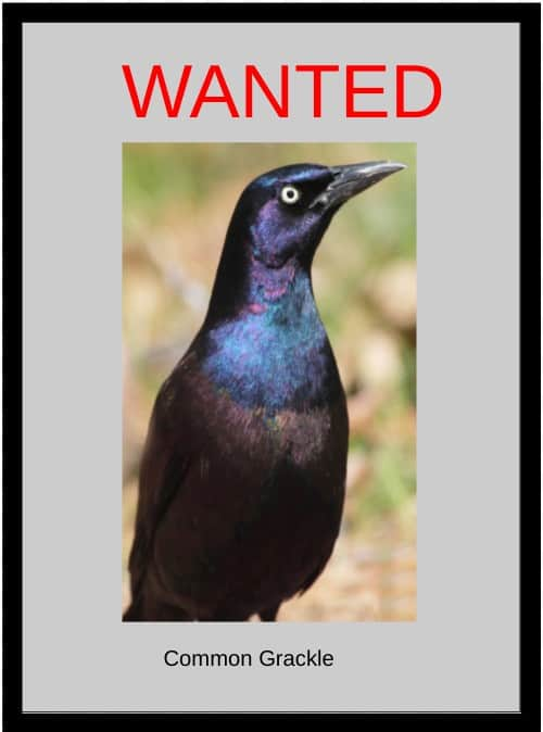 Wanted poster for a Common Grackle