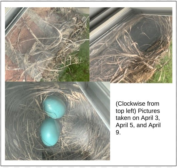 Pictures taken of the nest being built on my windowsill