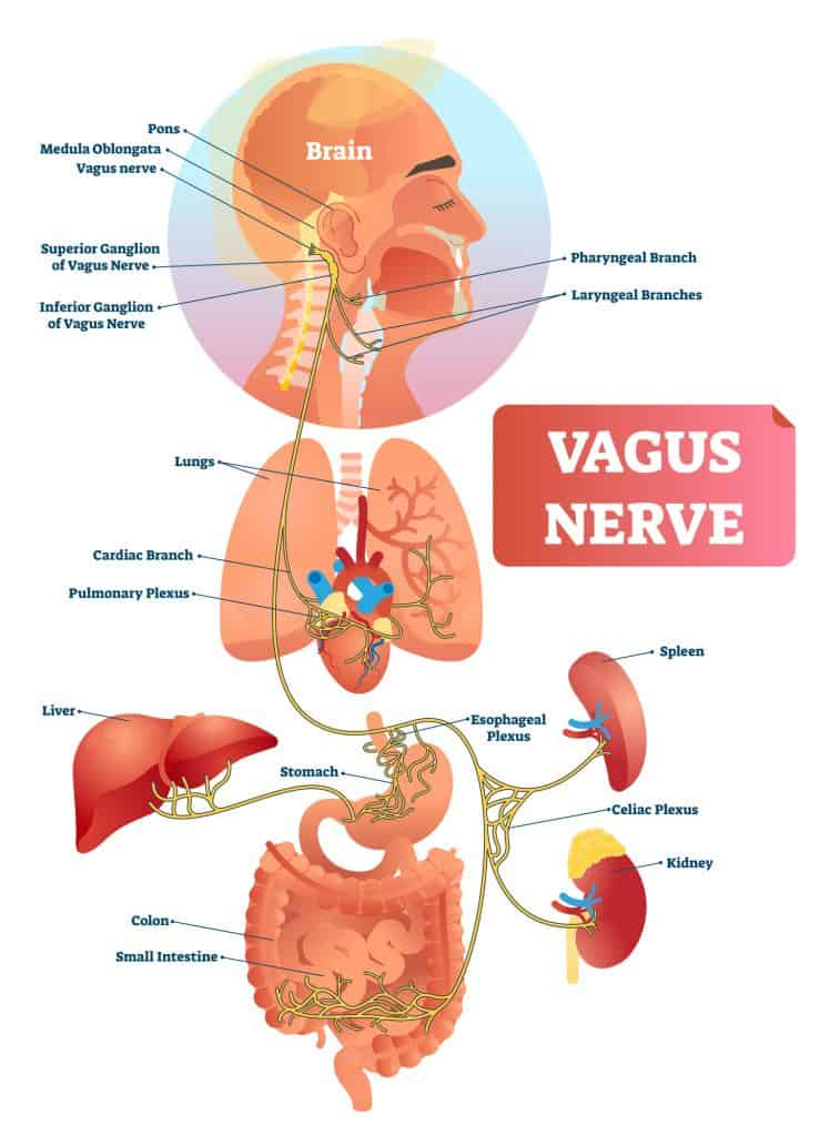 The vagus nerve branches off of the brainstem and innervates many organs