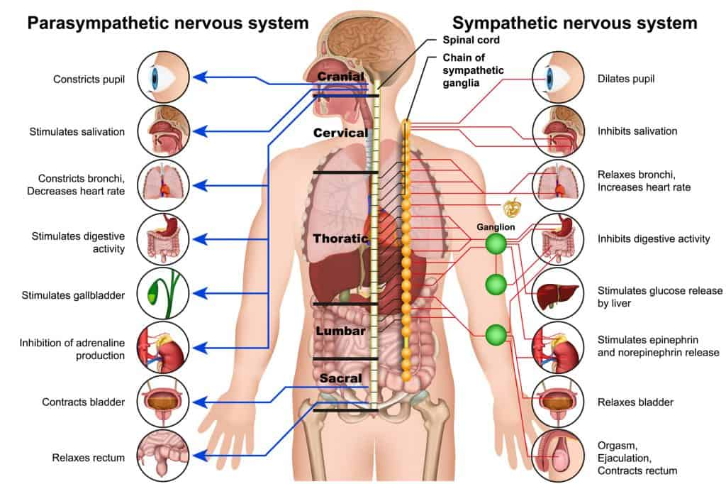 The autonomic nervous system is divided into two branches: the sympathetic nervous system and the parasympathetic nervous system