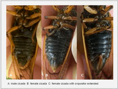 Abdomen of male and female cicadas